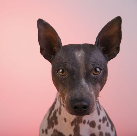 best apartment dogs american hairless