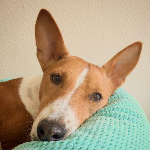 best apartment dogs basenji