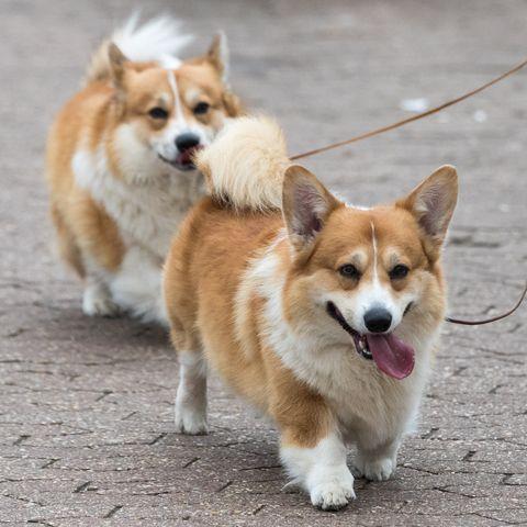 best-apartment-dog-breeds-corgi