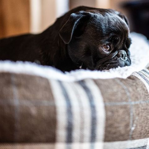 best-apartment-dog-breeds-pug