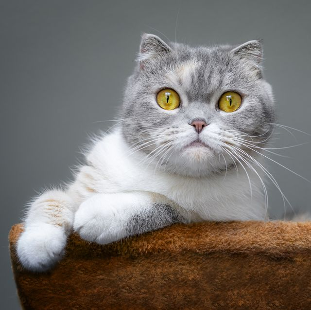 Cute scottish fold cat is resting on a cat tree .