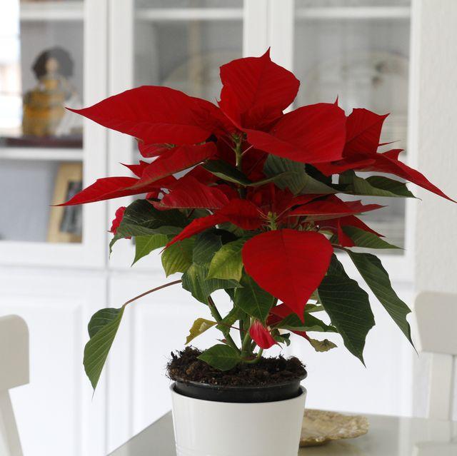 vibrant poinsettia decorating at home