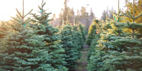 best christmas tree farm
