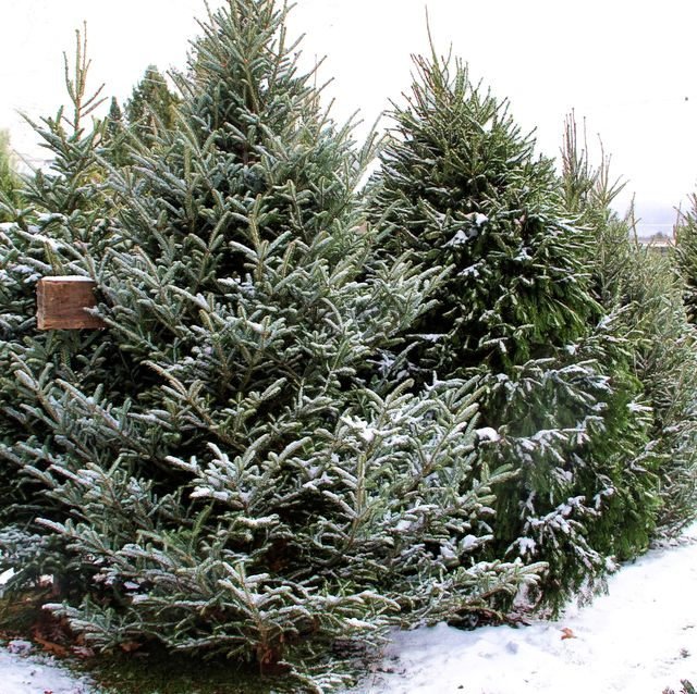 christmas trees for sale in a snow covered lot trees in the foreground are fraser fir trees