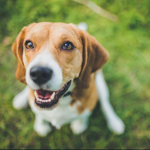 best dog breeds for kids - beagle