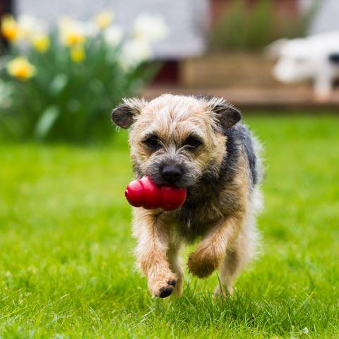 best dog breeds for kids - Border Terrier