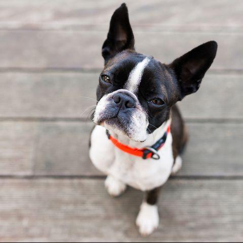 best dog breeds for kids - Boston terrier