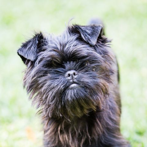 best-dogs-for-first-time-owners-affenpinscher