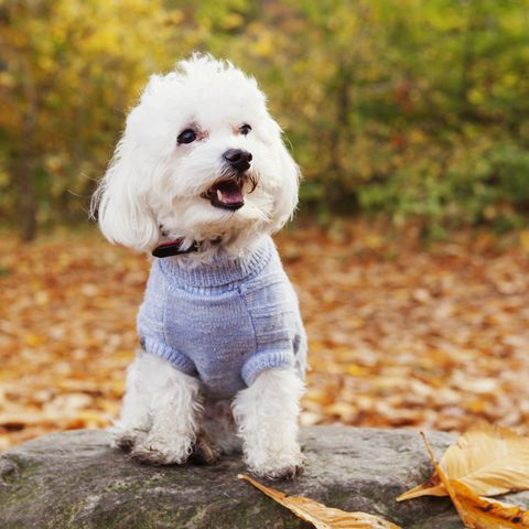 best-dogs-for-first-time-owners-bichon-frise