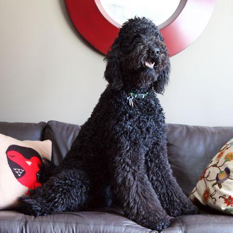 Black poodle on leather sofa