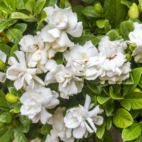 garden with white gardenias
