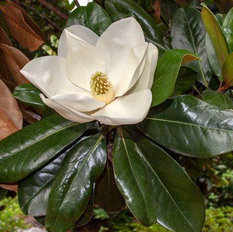 white magnolia flower blooming on a magnolia tree