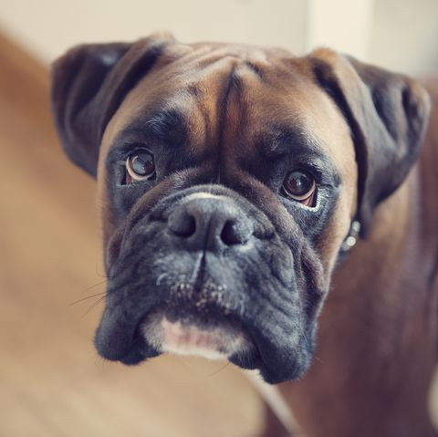 best gaurd dog boxer