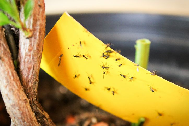 How to Get Rid of Gnats Once and for All
