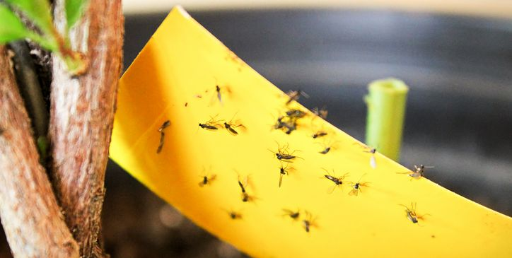 8 Ways to Get Rid of Gnats Once and for All