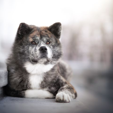 best guard dog akita