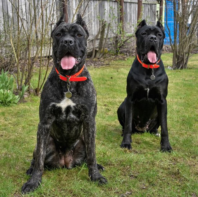 best guard dogs cane corso