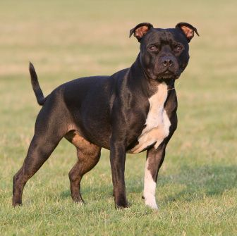 best guard dogs staffordshire bull terrier