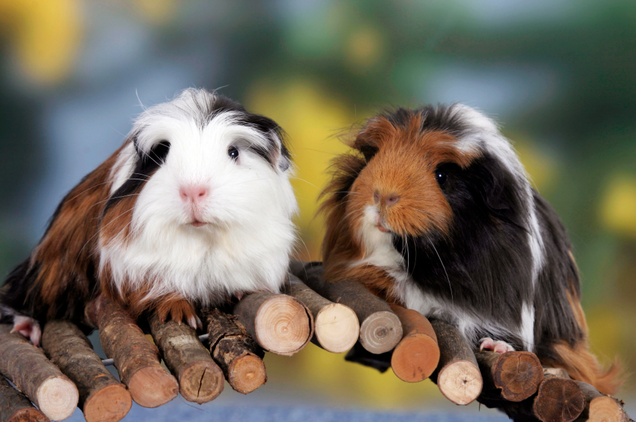 75 Best Guinea Pig Names Including Names For Males Females And