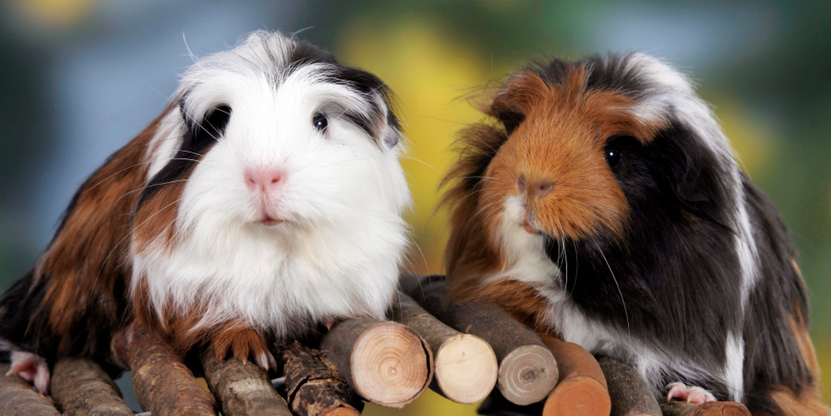 75 Best Guinea Pig Names Including Names For Males