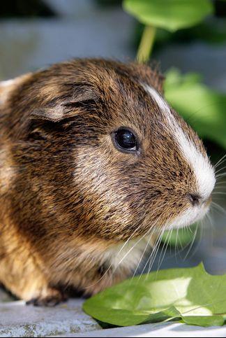 Best Guinea Pig Names for Boys- Boy Guinea Pig Names