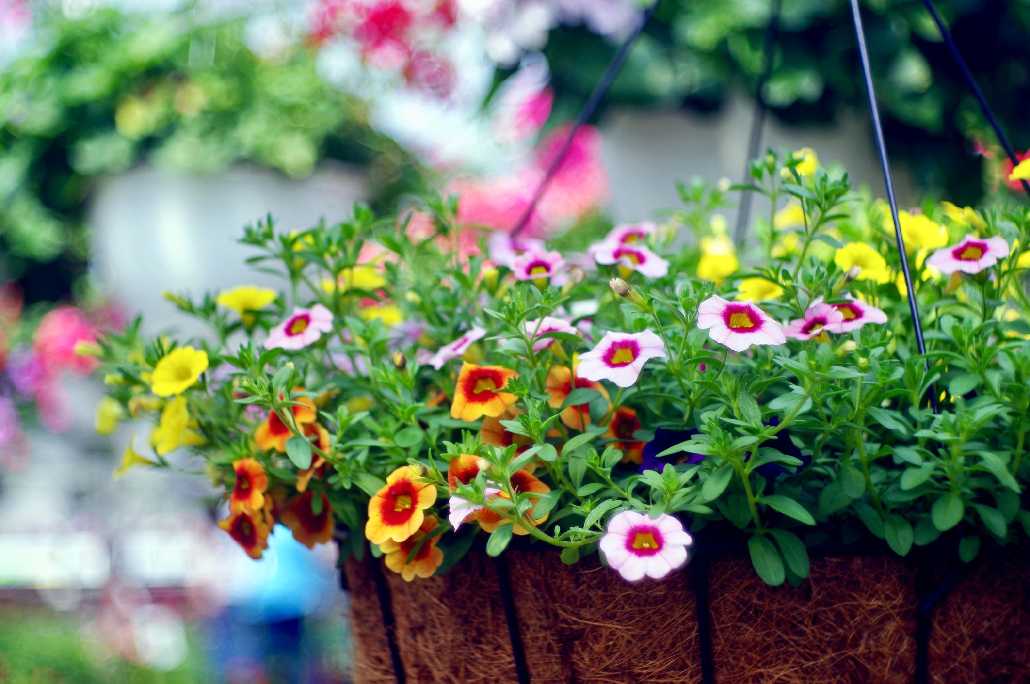 Easy Plants For Hanging Baskets