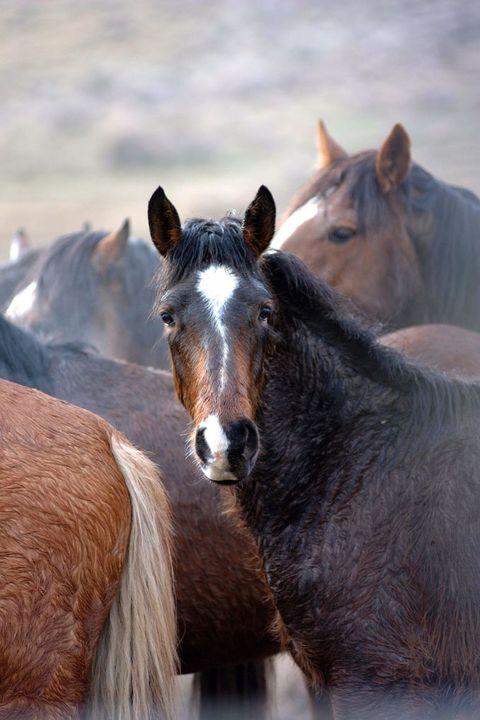 black rock, nv    january 23  captured  wild mustangs wait to be trucked to fallon, nevada, for veterinary care after that they will be offered for private adoption or transferred to pastures in the midwest on january 23, 2003 in black rock, nevada  photo paul harrisgetty images