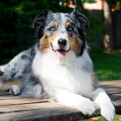 best-large-dog-breeds-australian-shepherd