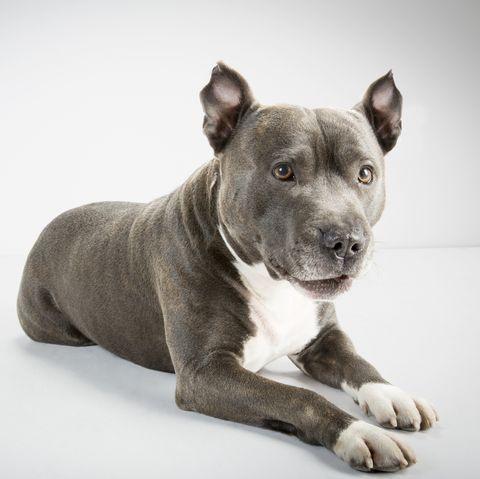 best-large-dog-breeds-pitbull-terrier