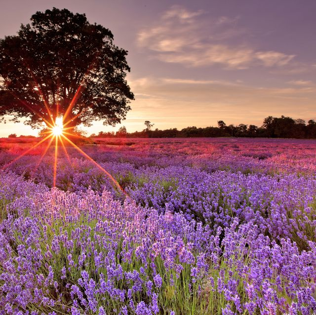 8 blossoming lavender fields to visit in the uk this summer