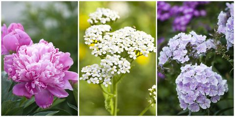 best perennial flowers