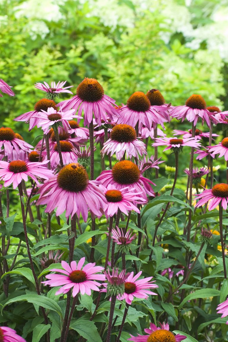 20 Best Perennial Flowers - Ideas for Easy Perennial ...