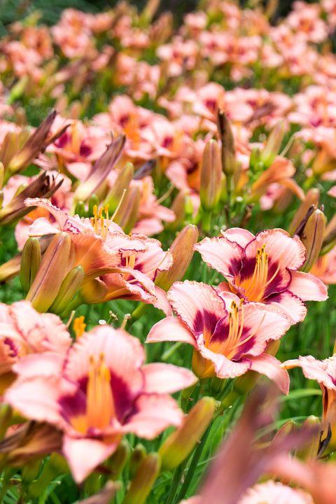 20 Best Perennial Flowers Ideas For Easy
