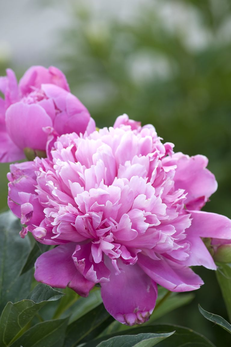 20 Best Perennial Flowers - Ideas for Easy Perennial ...