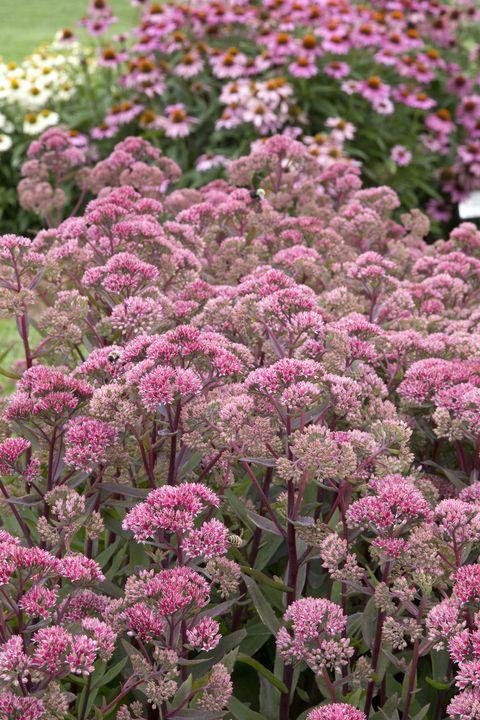 20 best perennial flowers ideas for easy perennial flowering plants sedum mightylinksfo