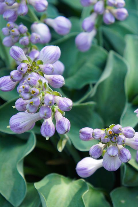 Hosta Best Perennial Plants and Flowers