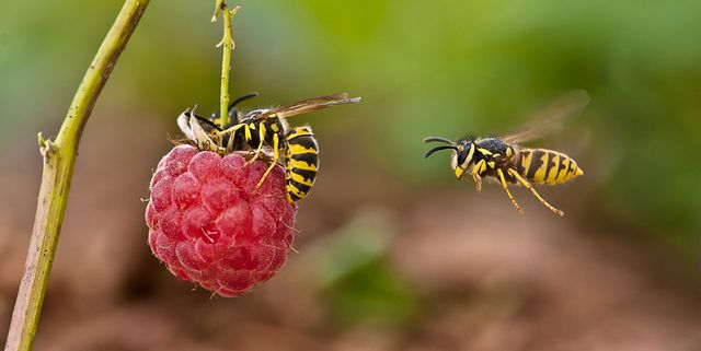 best pest advice wasps