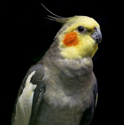 best pet birds cockatiel