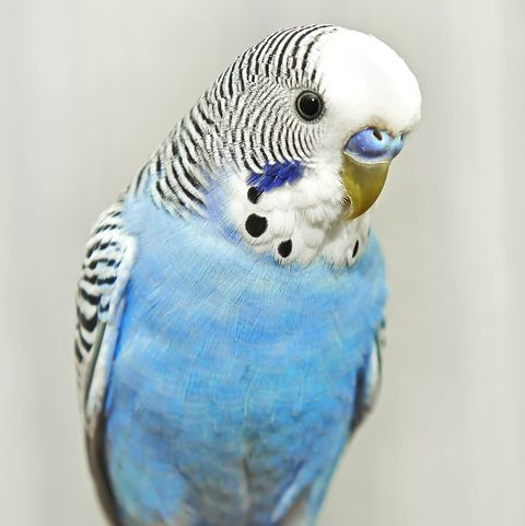 best pet birds parakeet