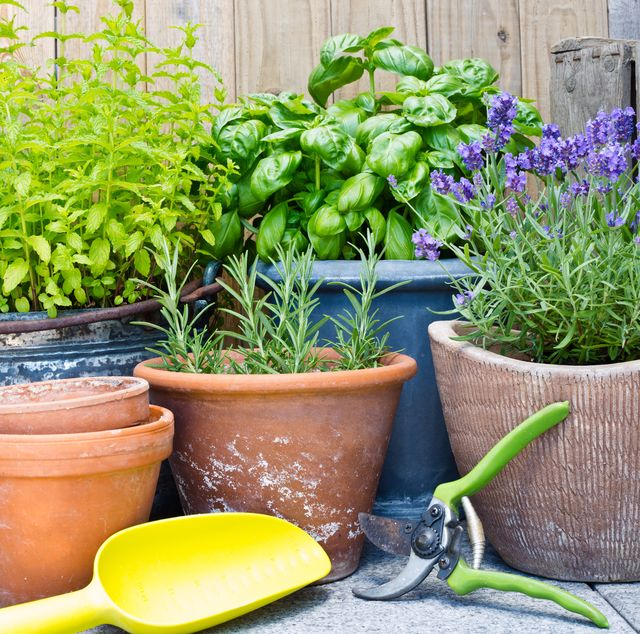 urban gardening, fresh herbs in clay pots