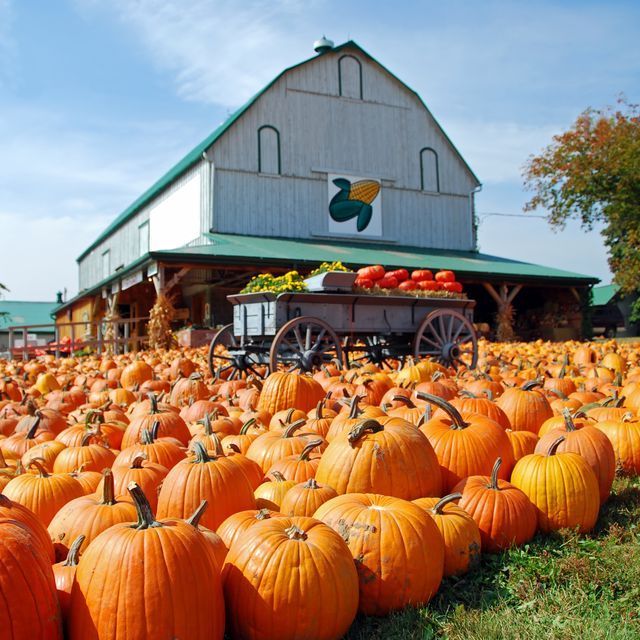 pumpkin patch at a farm