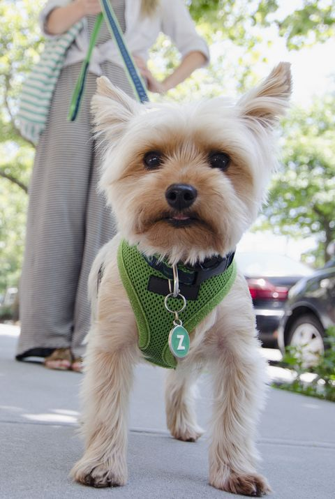 best small dog breeds yorkshire terrier