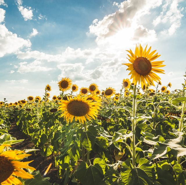 Image result for field of sunflowers