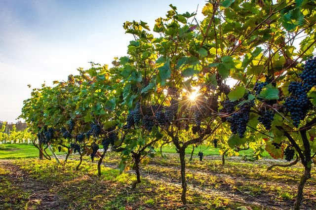 vineyards in kent