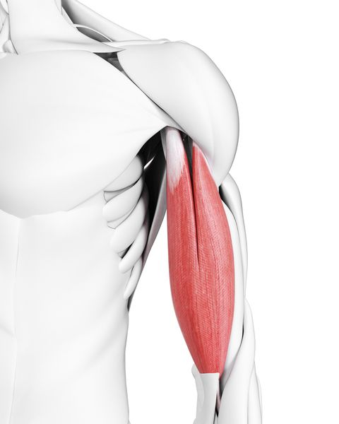 biceps muscles, illustration