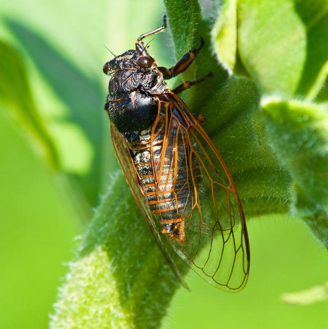 big cicada sitting on a flower