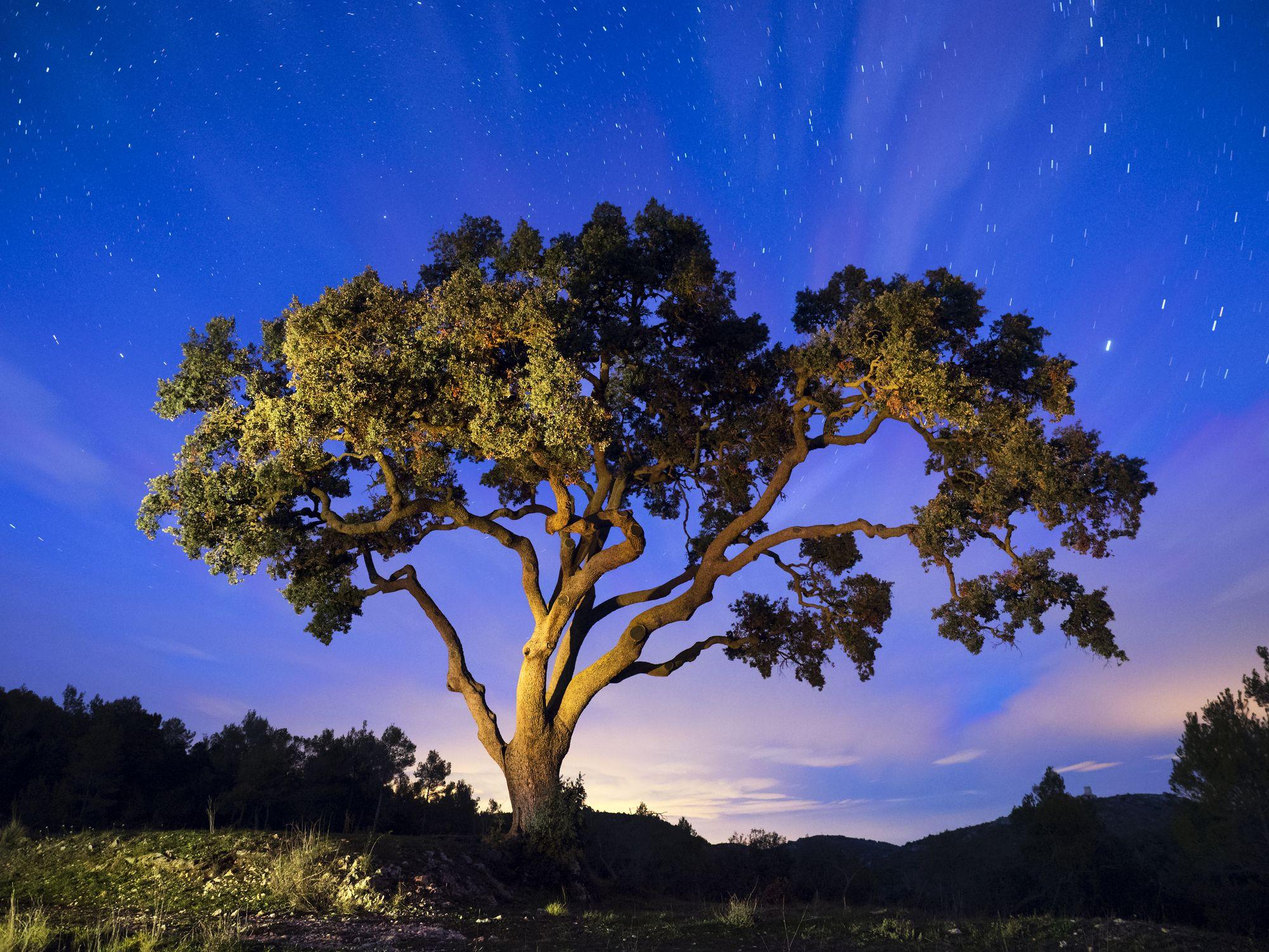stort gammelt tre om natten med stjernehimmelen og en blå himmel