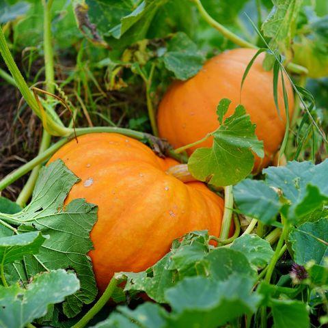 Pumpkin Plant Tips How To Grow A Pumpkin