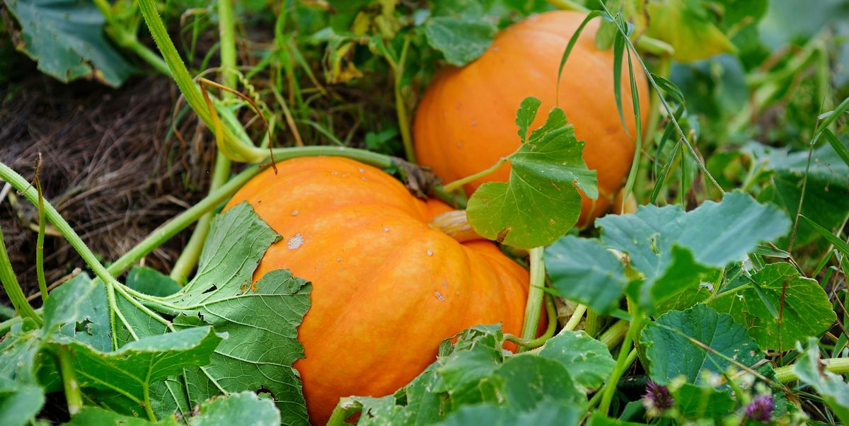 Growing Your Own Pumpkins Is the Best Family Project You Can Do This Summer