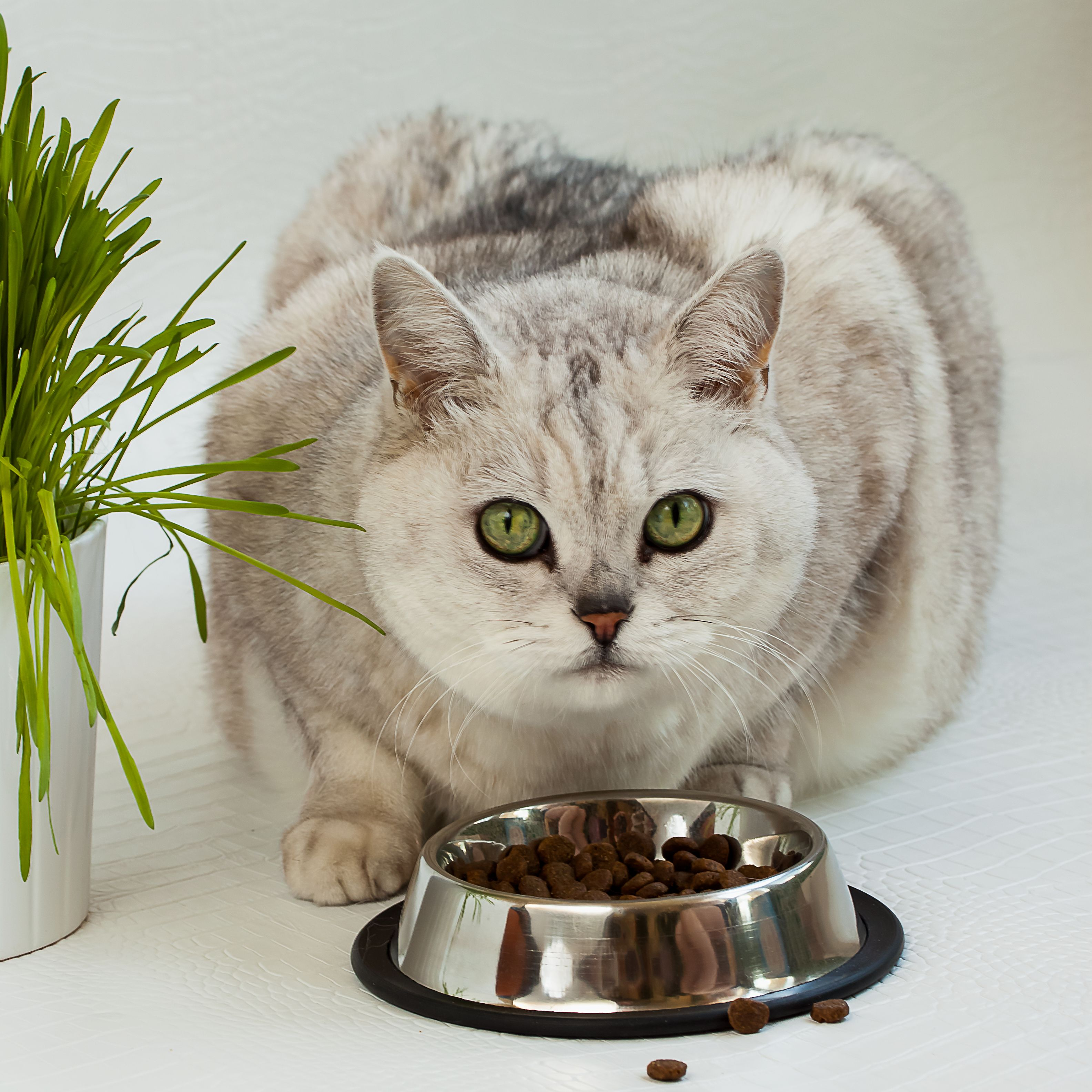 Homemade cat food -- Cat sitting front of bowl  food